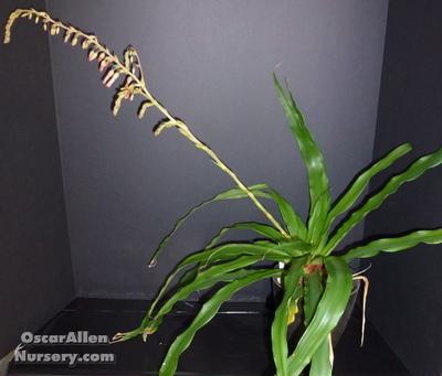 Fosterella Spectabilis - mature bare root division