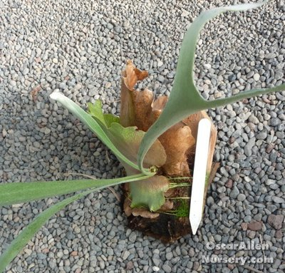 Platycerium bifurcatum,' Staghorn fern'- small mounted plant