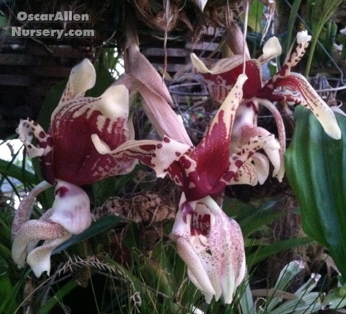 Stanhopea tigrina - seedgrown plant in 4 inch basket