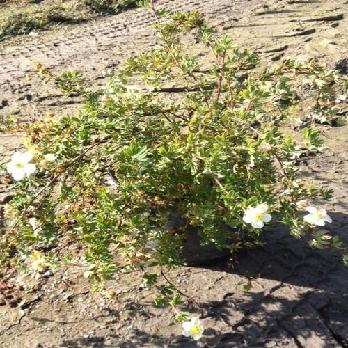 Potentille blanche arbustes shop en ligne p pini re for Arbuste en ligne