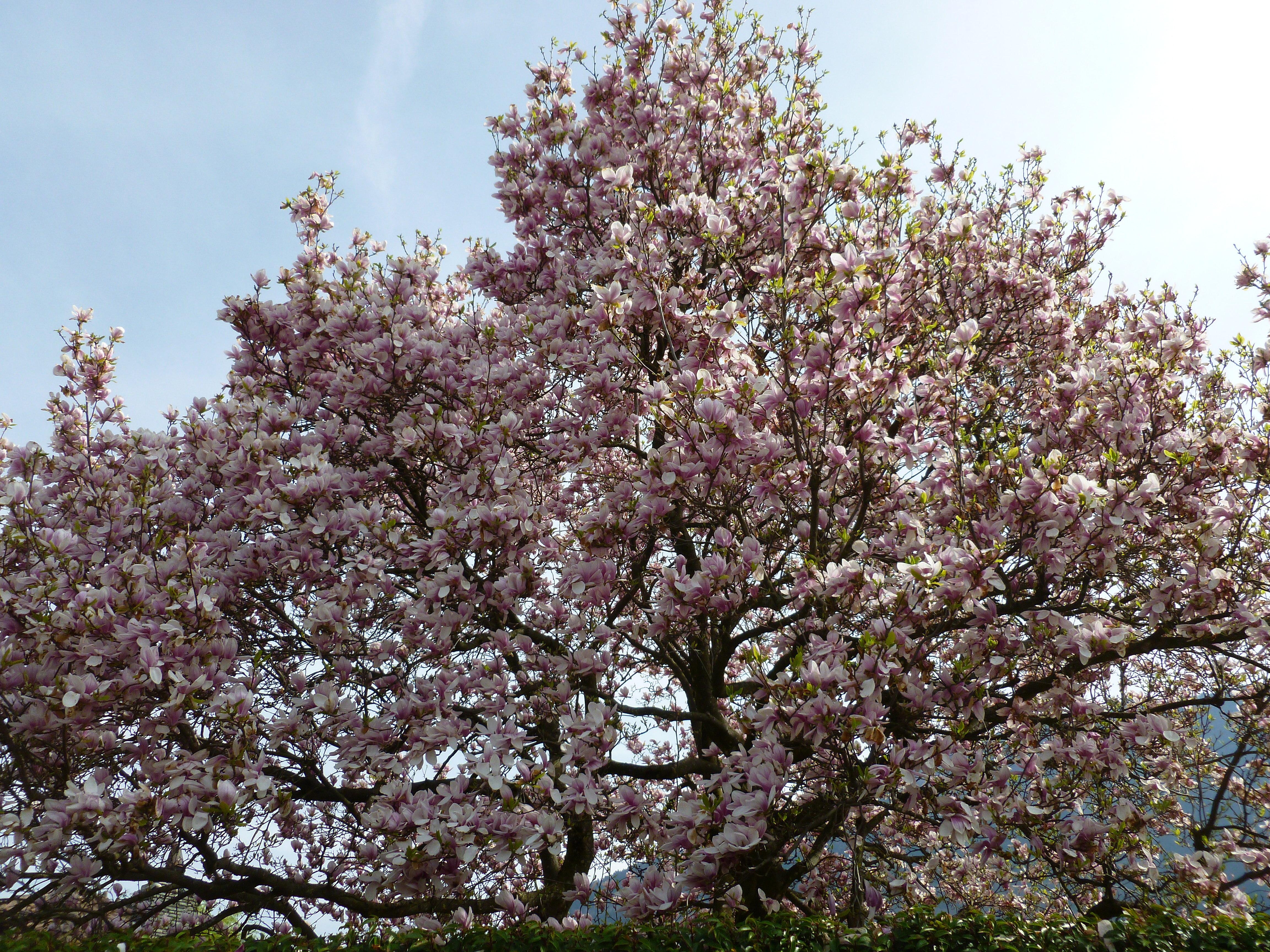"""Cerisier du Japon """"Kanzan"""" 00322"""