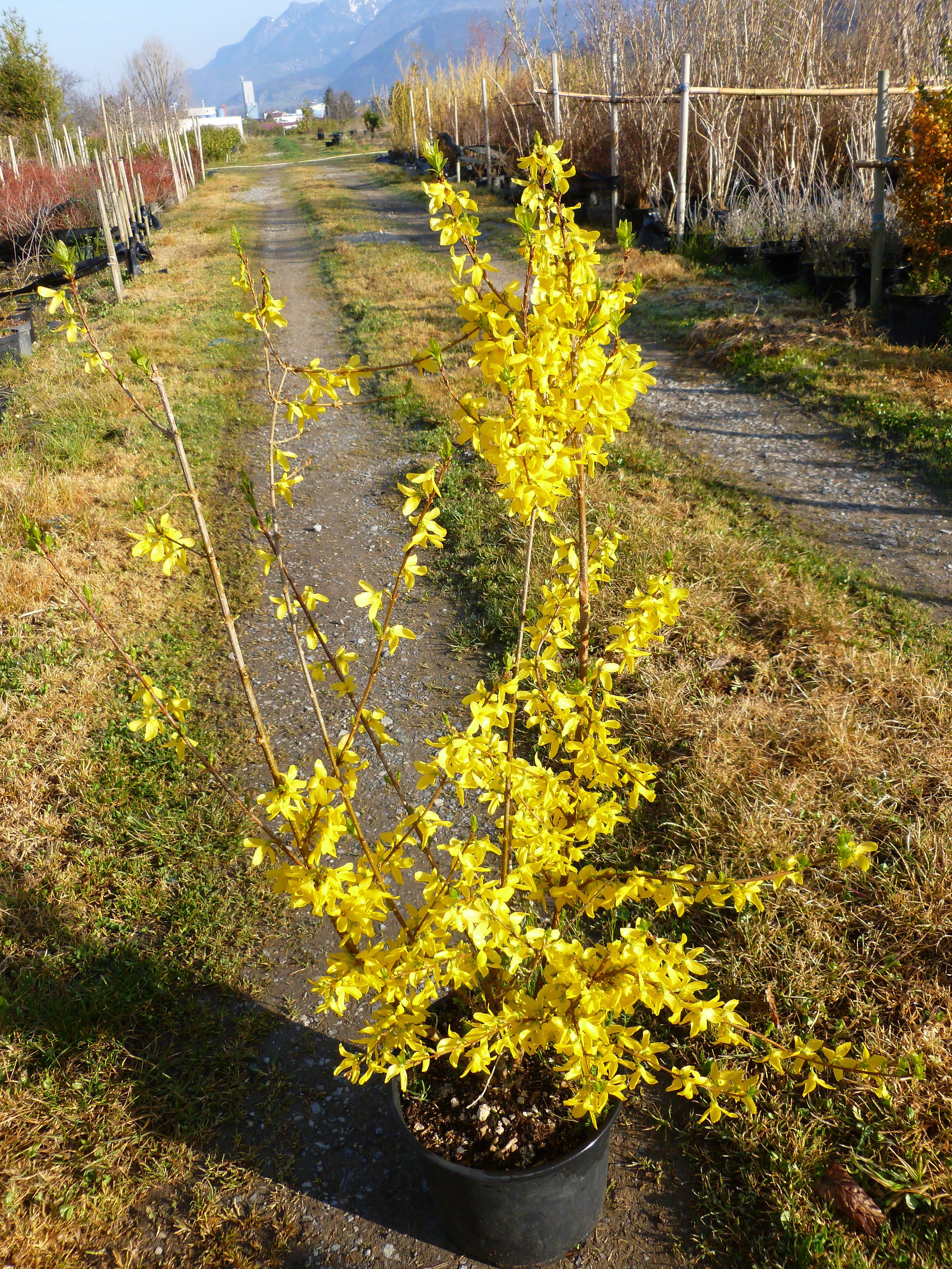 Forsythia ou Mimosa de Paris 00178