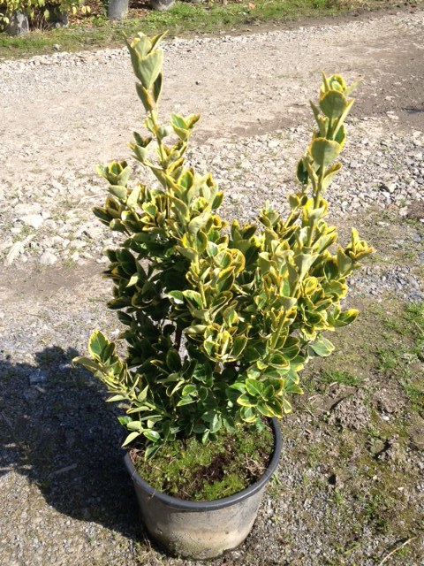 Fusain du japon 39 aureomarginatus 39 arbustes shop en for Arbuste en ligne
