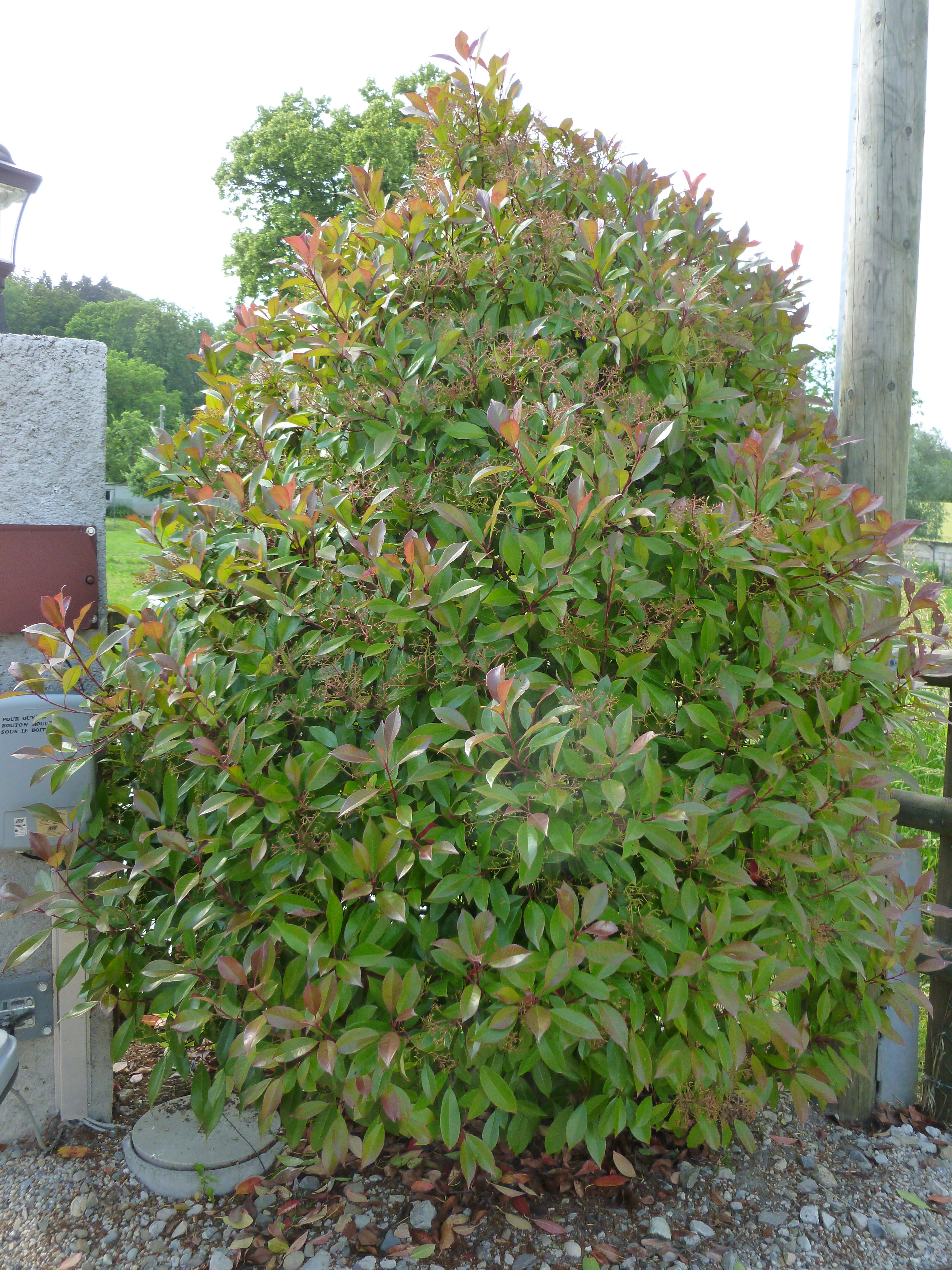 Photinia Fraseri 39 Red Robin 39 Arbustes Shop En Ligne