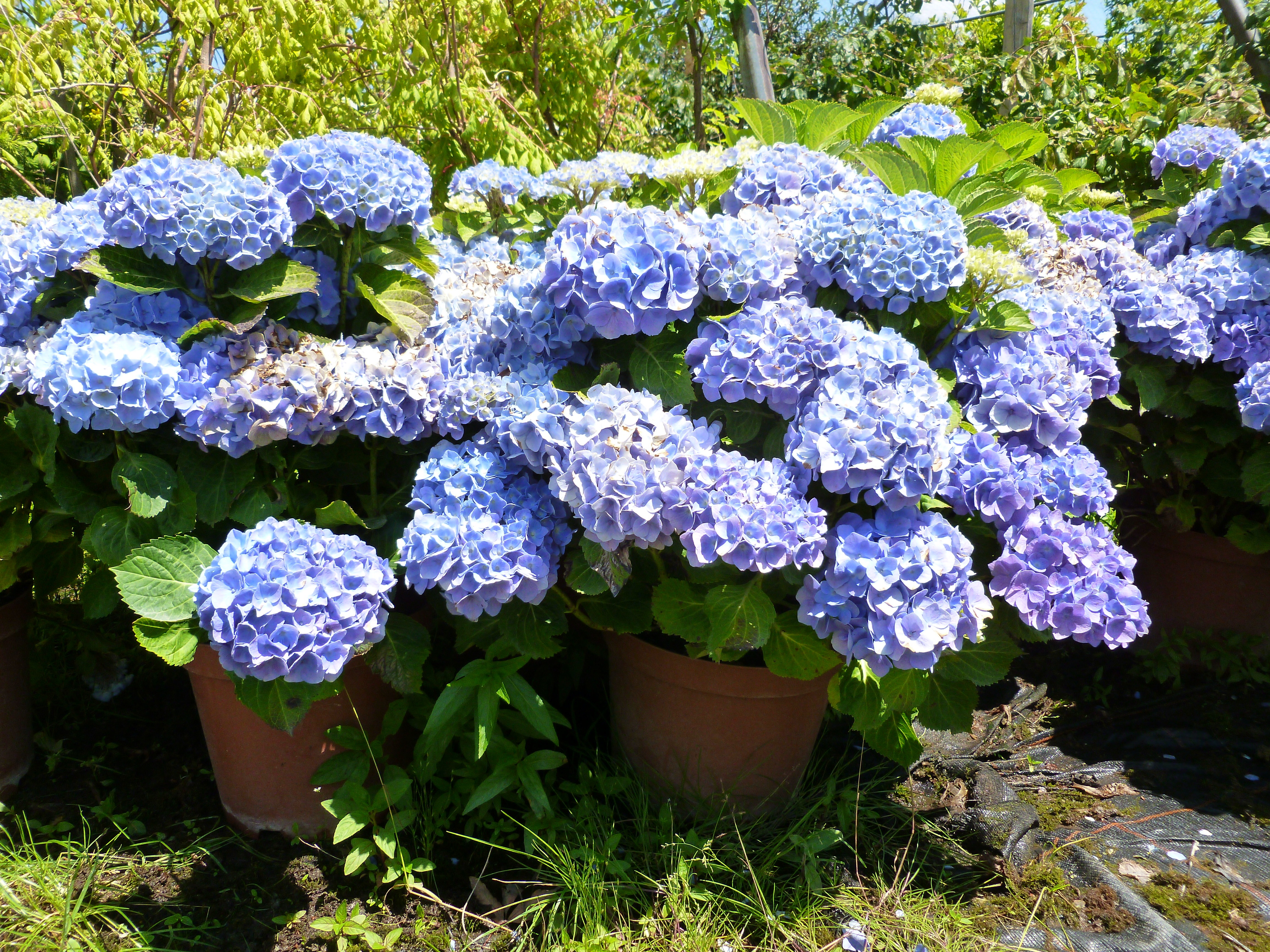 Hortensia macrophylla bleu, rose ou rouge 00199