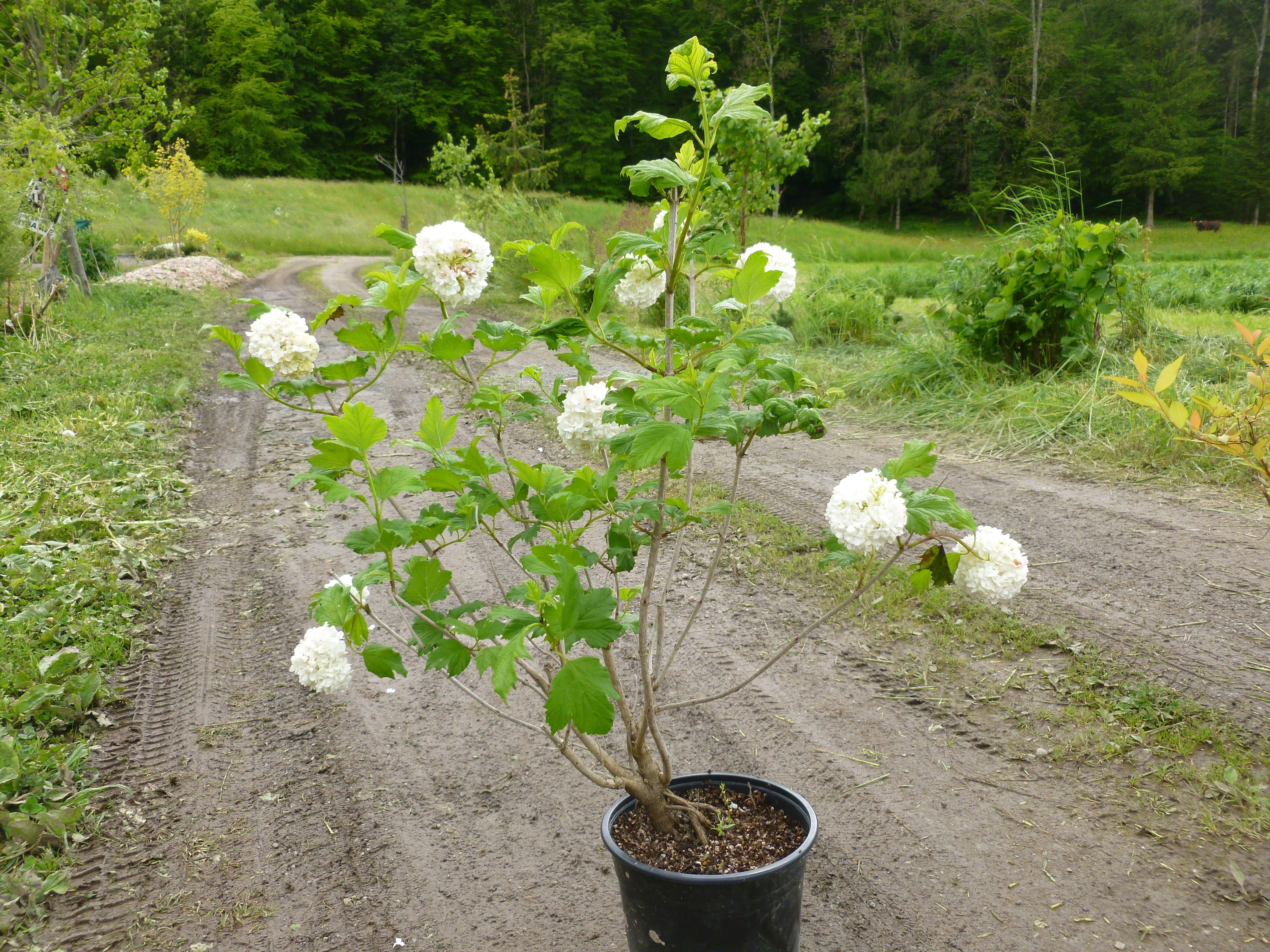 Viorne boule de neige roseum arbustes shop en ligne for Arbuste en ligne
