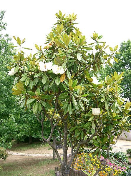 Magnolia à grandes fleurs 00247
