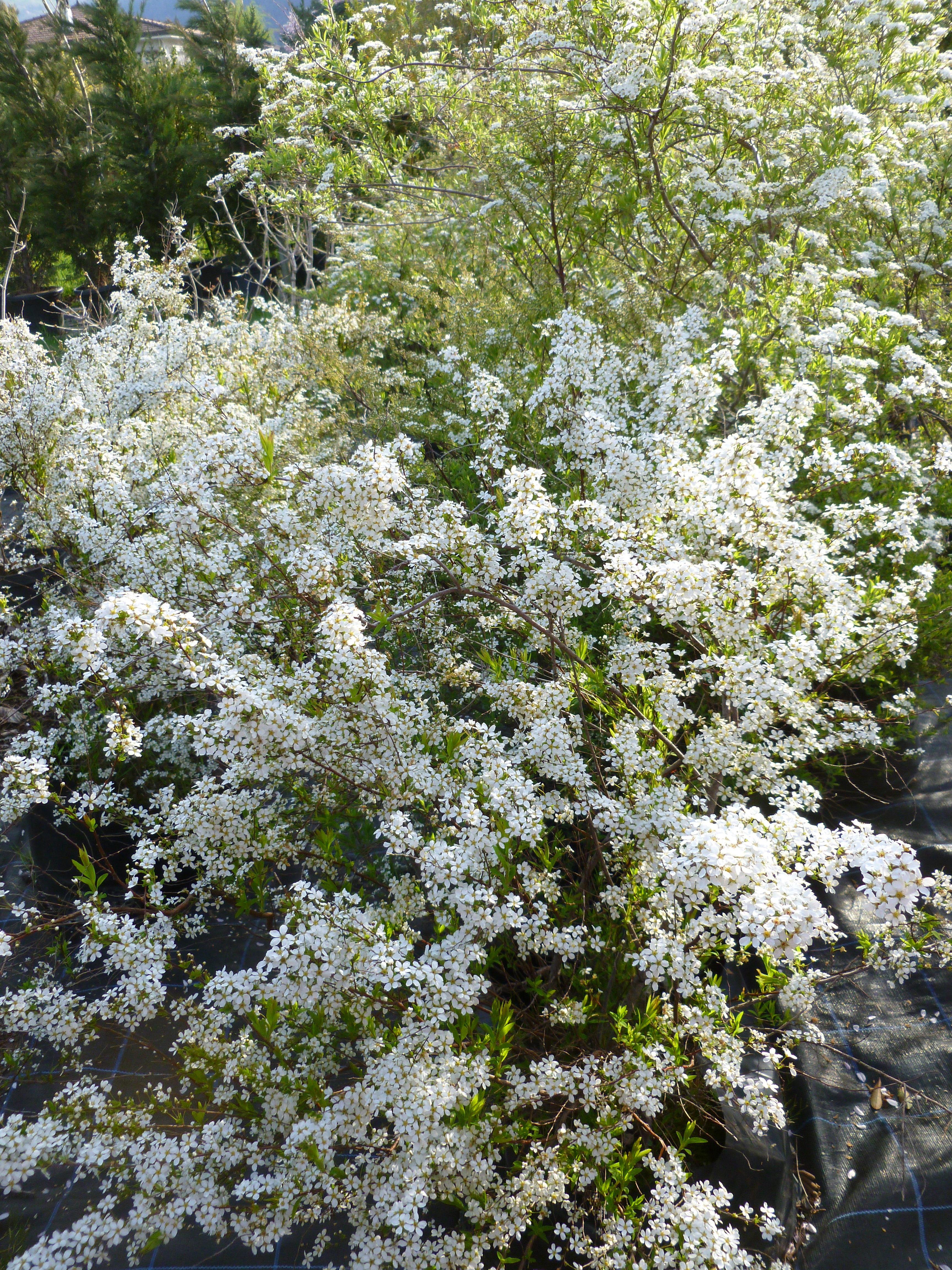 Spir e de vanhoutte arbustes shop en ligne p pini re for Pepinieres en ligne