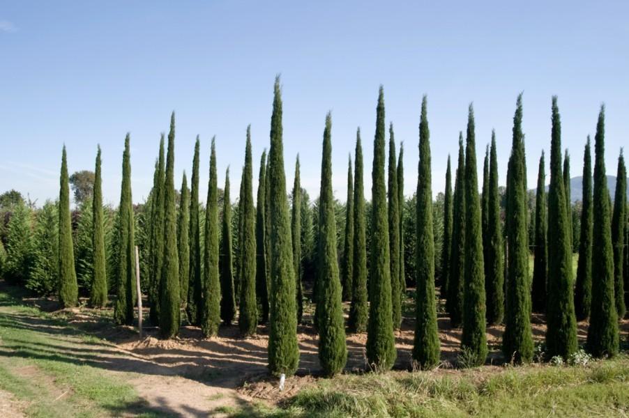 Cyprès d'Italie, de Provence 'Stricta'
