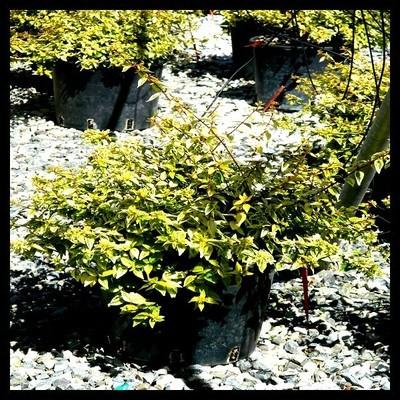 Abélie à grandes fleurs 'panaché'