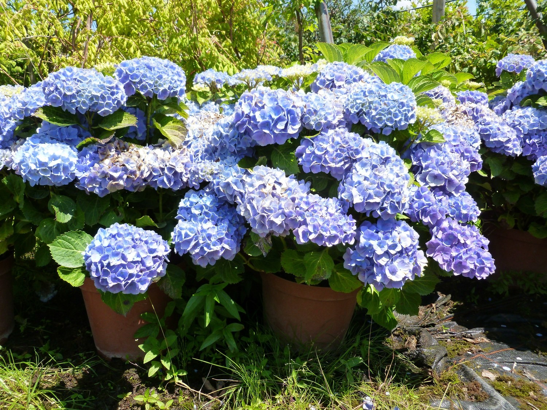 Hortensia macrophylla bleu, rose ou rouge