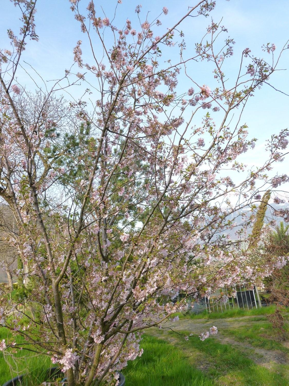 """Cerisier du Japon """"Accolade"""""""