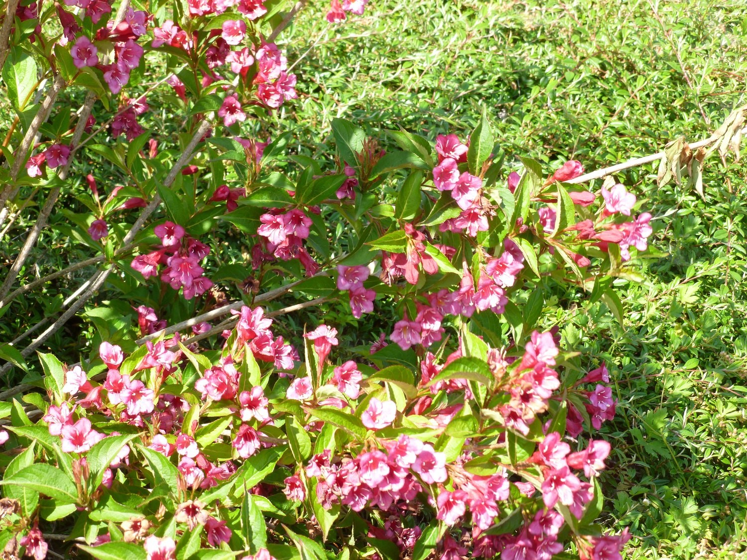 Weigela rose ou rouge intense