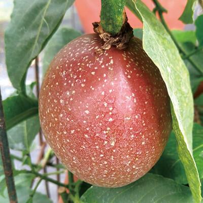 Passion Fruit /lb. LOCAL