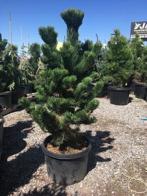 Oregon Green Austrian Pine