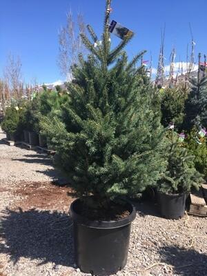 Colorado Green Spruce