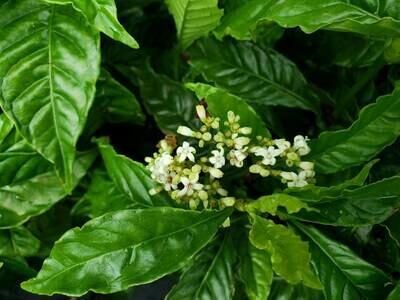 Shiny Coffee (P. nervosa)