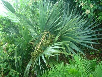 Key Thatch Palm