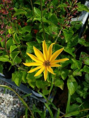 Narrowleaf Sunflower