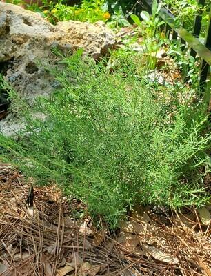 False Rosemary / Scrub Mint