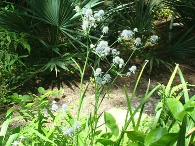 Blueflower Eryngo / Marsh Eryngo / Rattlesnake Master