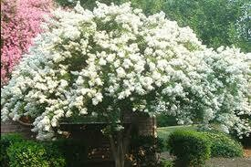 Crape Myrtle Natchez 30 Gallon