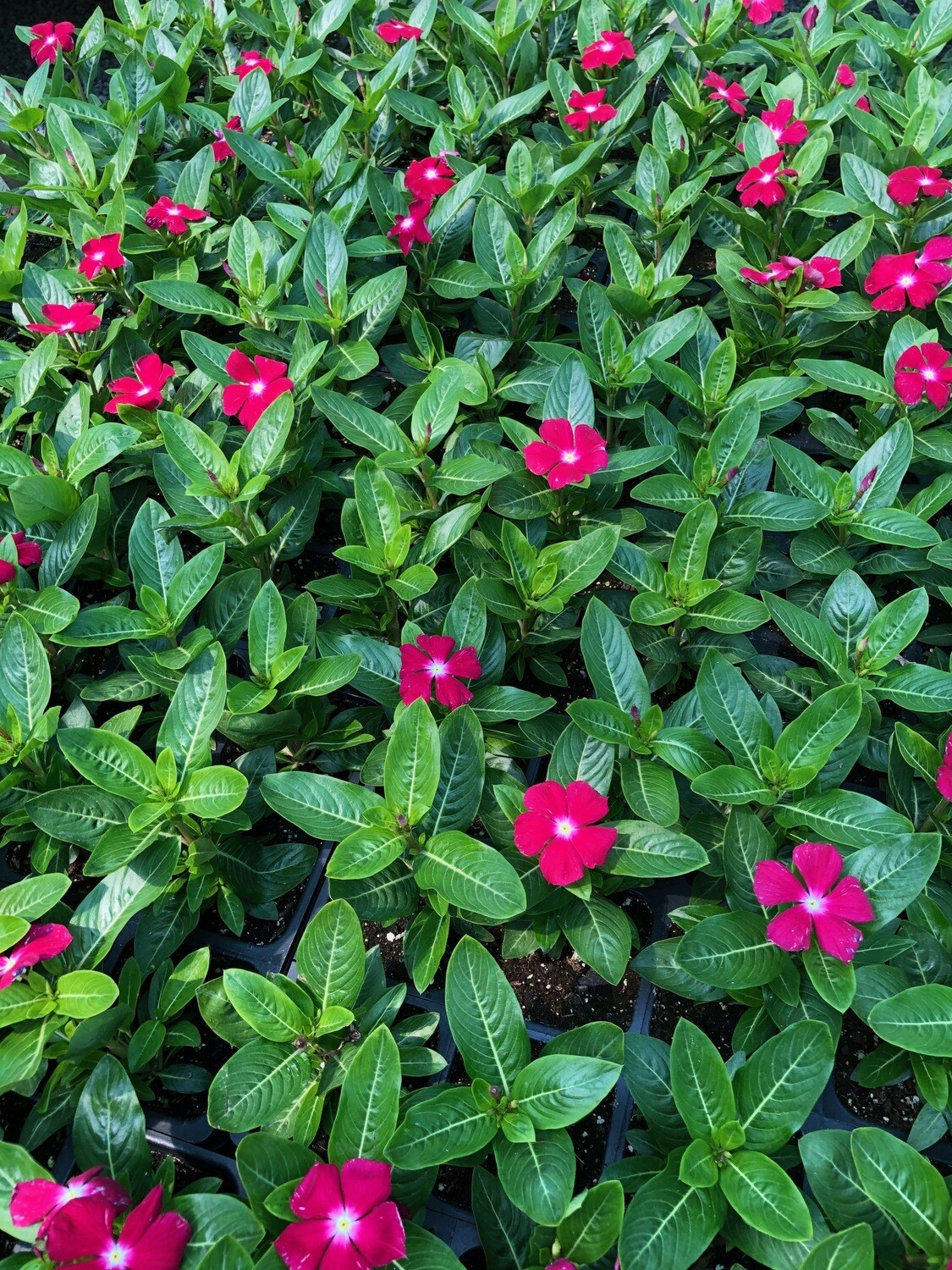 4 Quot Vinca Minor Periwinkle Red Store Fossil Creek