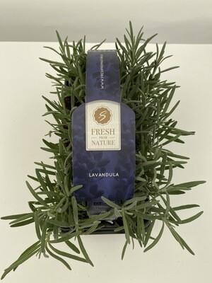 Lavender 'Augustifolia' (6 Pack)
