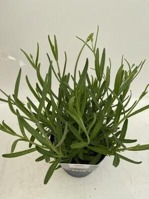 Lavender Angustifolia 'English'