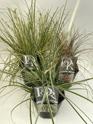 Carex Grasses Selection (3 Plants)