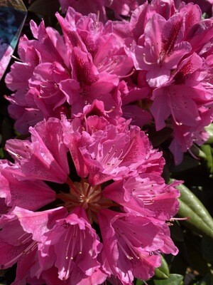 WAS £120 Rhododendron'Cosmopolitan'