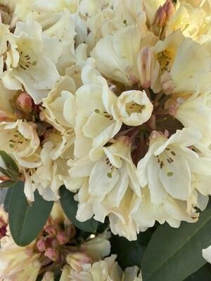 WAS £120 Rhododendron 'Horizon Monarch'