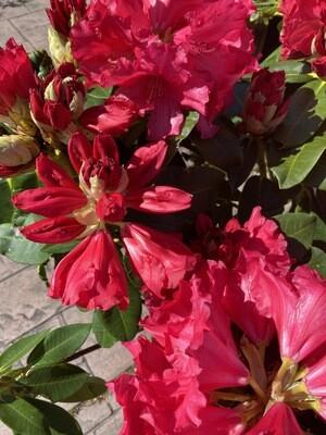 WAS £120 Rhododendron 'Markeetas Prize'