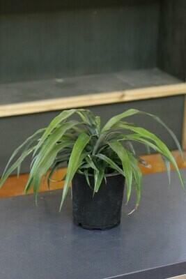 #1 Pineapple Plant