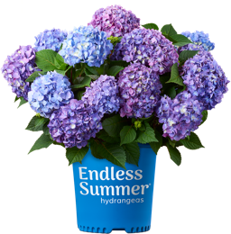Bailey's BloomStruck Hydrangea (2 Gallon)