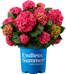 Bailey's Summer Crush Hydrangea (2 Gallon)