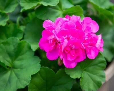 Geranium Hanging Basket (Large Pink)