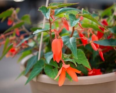 Begonia Hanging Basket (Bossa Nova Orange)