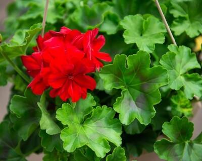 Geranium Hanging Basket (Large Dark Red)