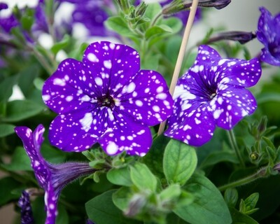 Petunia Hanging Basket (Headliner Night Sky)