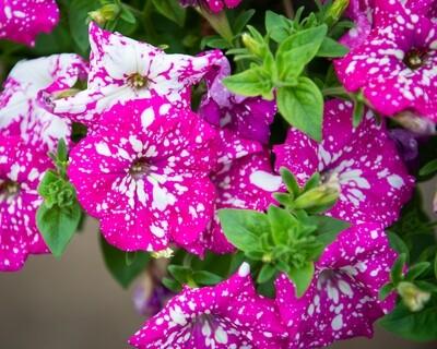 Petunia Hanging Basket (Headliner Pink Sky)