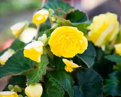 Begonia Hanging Basket (Nonstop Yellow Joy)