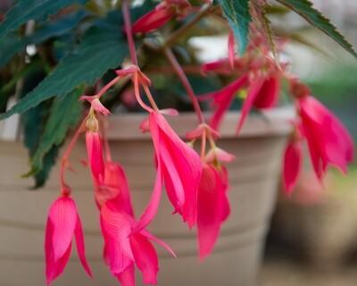 Begonia Hanging Basket (Bossa Nova Pink Glow)