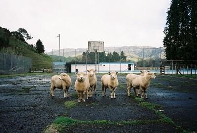Court Sheep