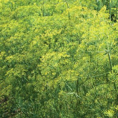 Large Cilantro/ Dill Herb Bowl (12 inch pots) multiple plants