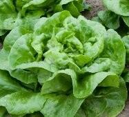 Living Buttercrunch lettuce Bowls