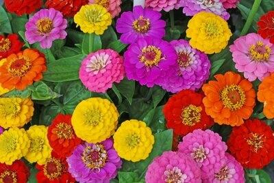 Zinnia Flower Bowl (10 inch pot)