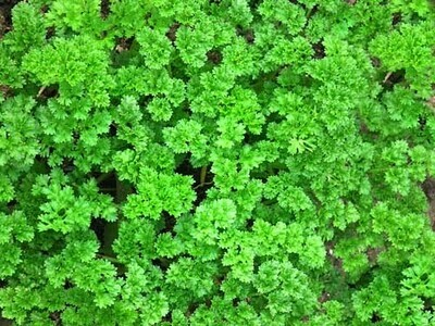 Triple Curled Parsley, herb, (6 pack , small plants)