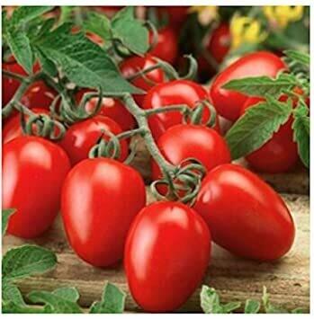 Roma Tomato plants (6 pack, small starts)