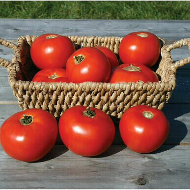 Mountain Fresh LARGE Tomato Plant (one 4 inch pot)